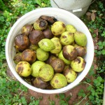 bucket of black walnuts