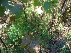 Galium verum with blackberries
