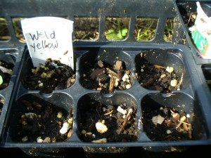 yellow weld seeds did not germinate