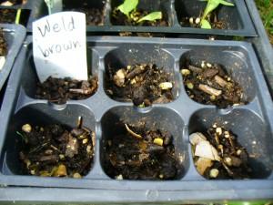 brown weld seeds did not germinate