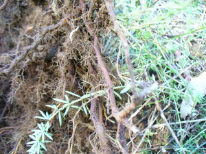 lady's bedstraw roots and plant tops growing