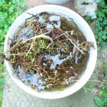 rinsing a bucket of bedstraw roots
