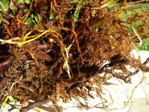 dense root cluster