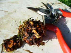 woody root core