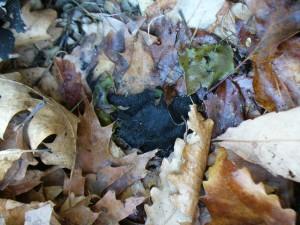 damp fallen rock tripe