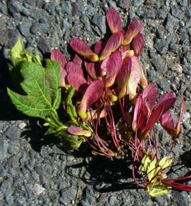 magenta maple seeds
