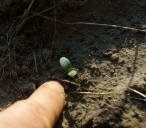 another woad seedling