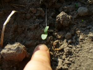 a woad seedling
