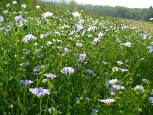 Amethyst Farm solstice flax
