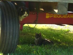 Amethyst cats