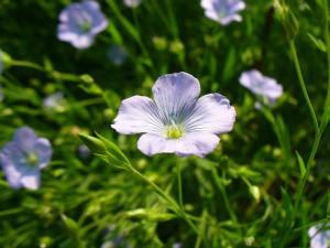 flax blossom closeup 1