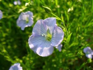 flax blossom closeup 2