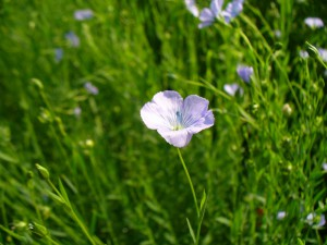 flax blossom closeup 3