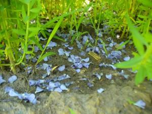 fallen flax petals