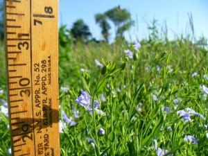 vns 31 inches Amethyst Farm
