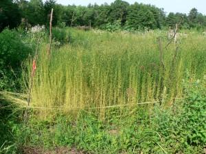 Amethyst Brook Marilyn at harvest