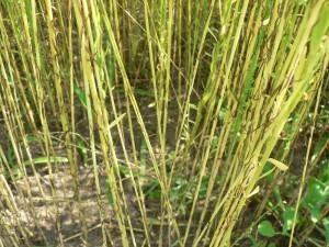 Amethyst Farm Evelin stalks close up