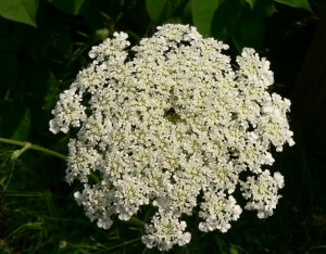 Queen Anne's Lace umbel