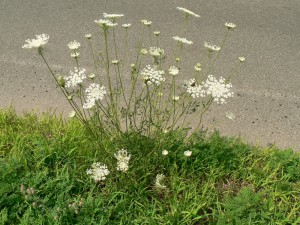 Queen Anne's Lace whole plant