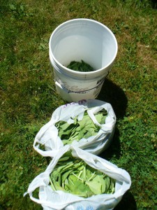 bags of woad