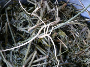 Queen Anne's Lace roots and all