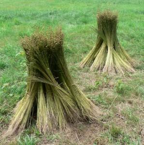 flax stooks