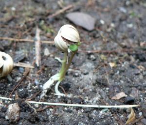 sentient flax seed pod