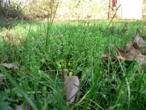November 10 flax in lawn