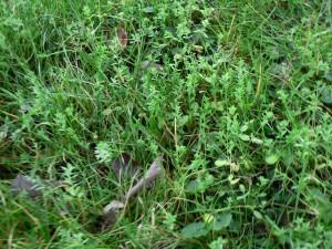 November 23 flax in lawn