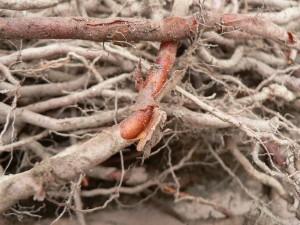 madder roots close-up