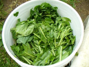 shredded woad leaves