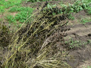 dark woad seeds June 29