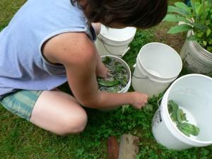 rinsing woad leaves