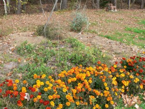 marigolds after frosts