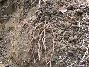madder roots in soil