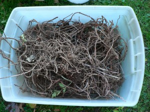 dry madder roots before rinsing