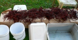 drying madder roots outdoors