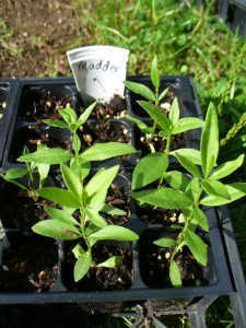 madder seedlings
