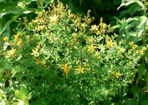 St.-John's-wort in bloom