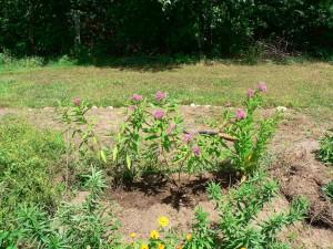 Asclepias incarnata planted