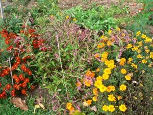Japanese Indigo plants at harvest