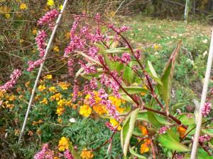 Mature Japanese Indigo flower stalk