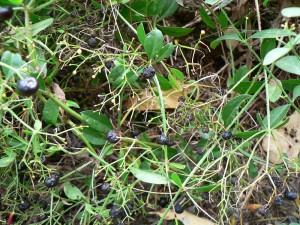 dried madder berries