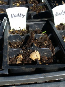 madder seed experiment