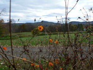 October cosmos with Mount Norwottuck