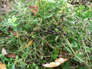 October madder berries