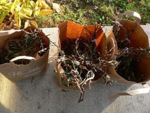 dried Japanese indigo plants