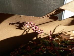 dried Japanese indigo flower
