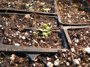 April 24 seedlings
