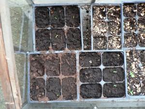 Japanese indigo seedlings May 3
